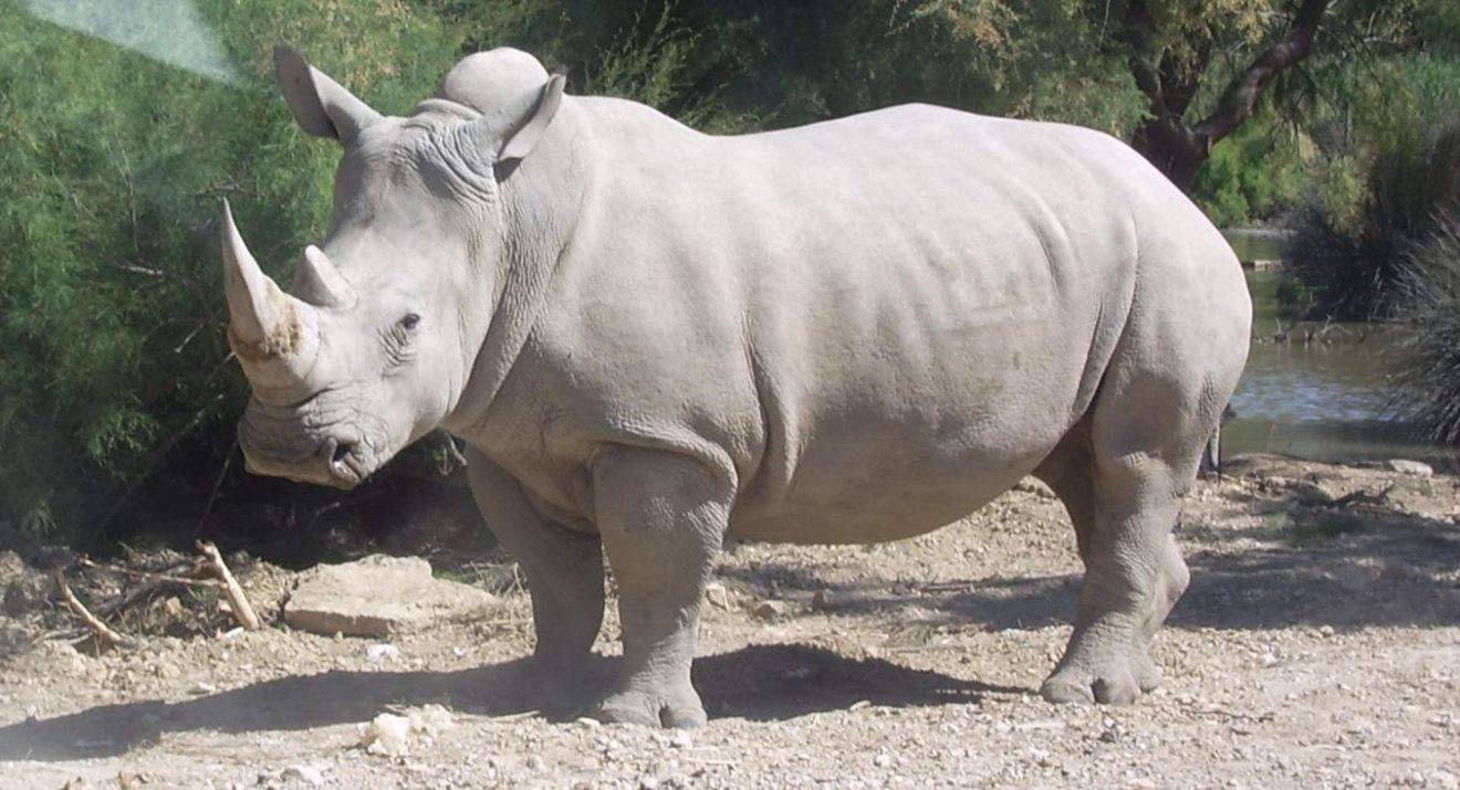 L'ultimo rinoceronte bianco maschio è morto in una riserva in Kenya all'età di 45 anni: ora ne restano ancora due femmine