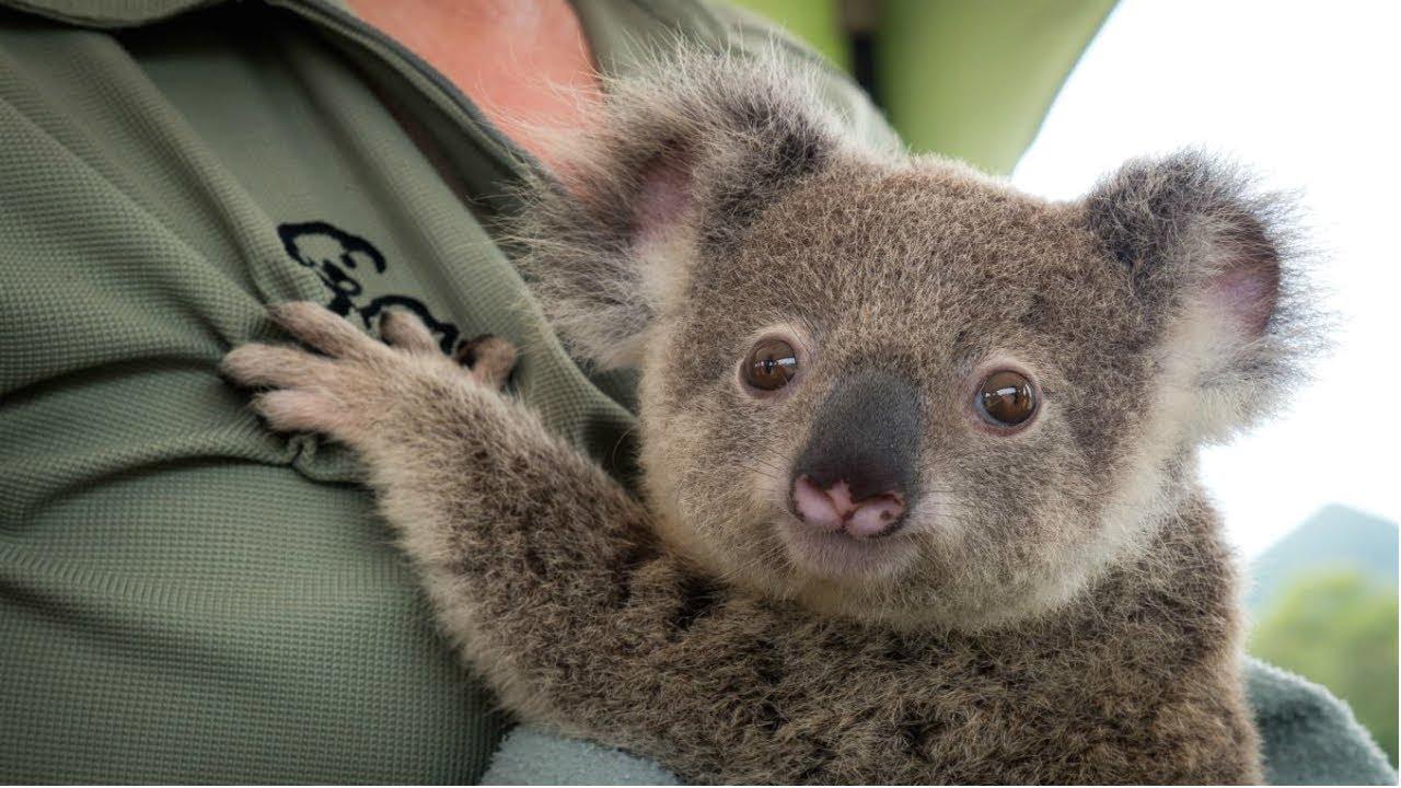 Come adottare un koala